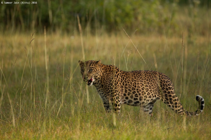 leopard_bnp_jan_16
