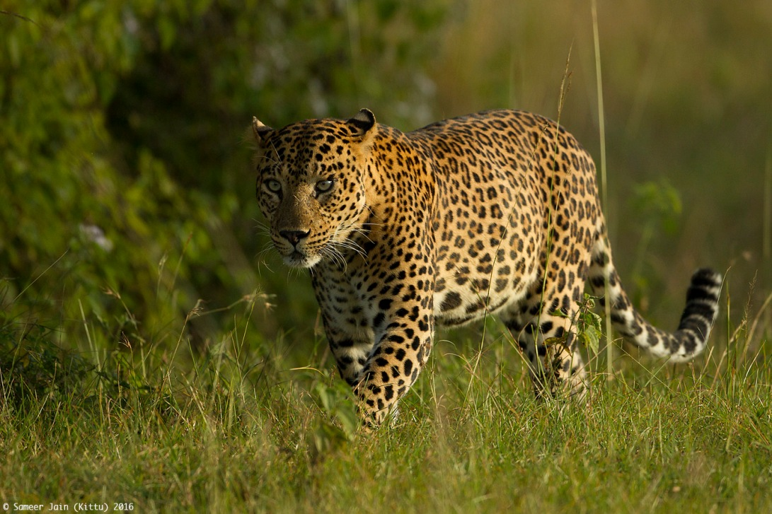 leopard_bnp_jan_2016