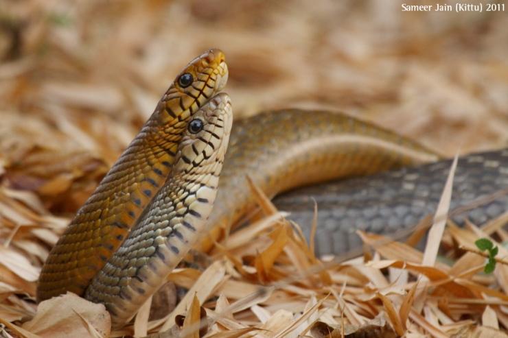 rat-snakes