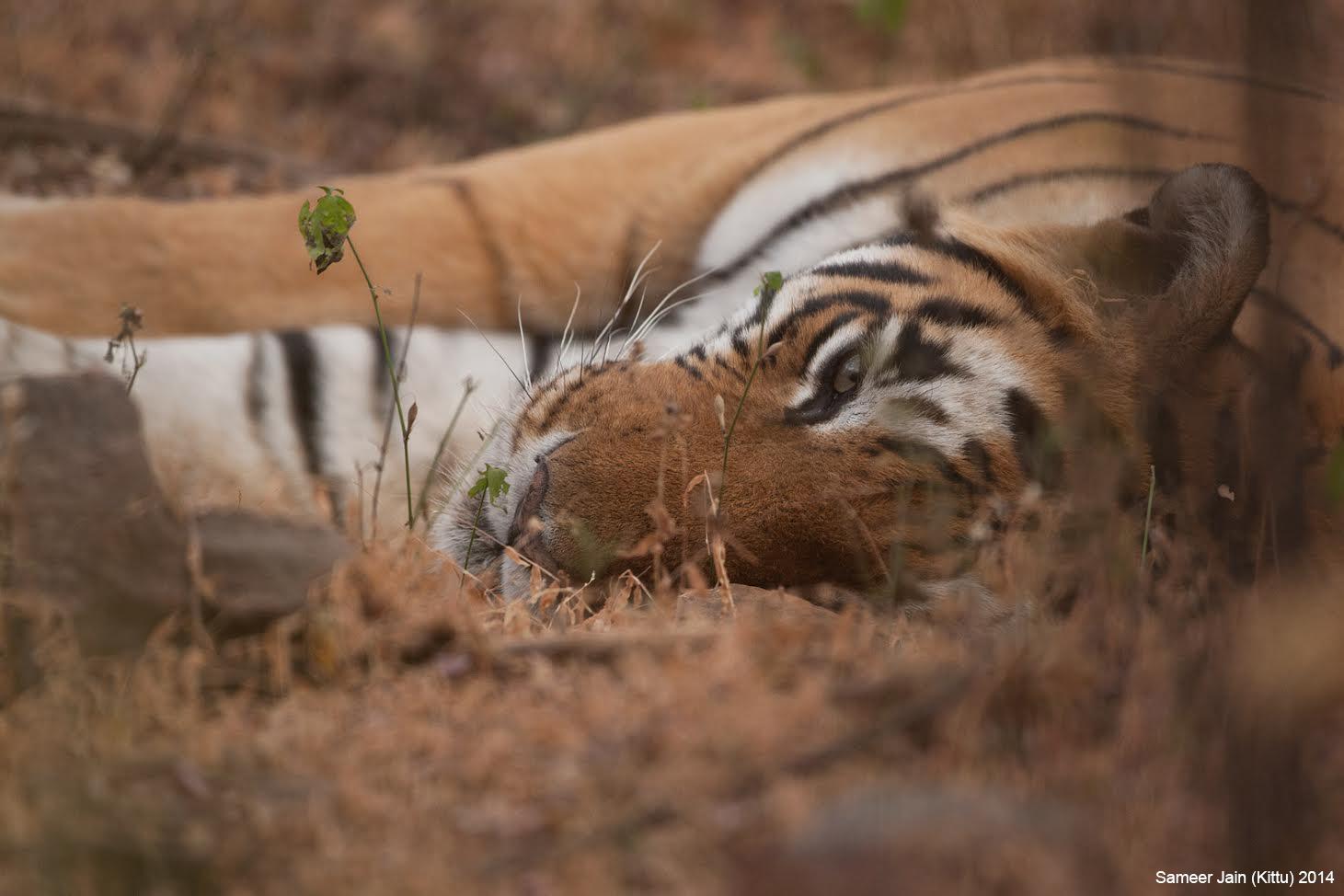 tiger_sultan
