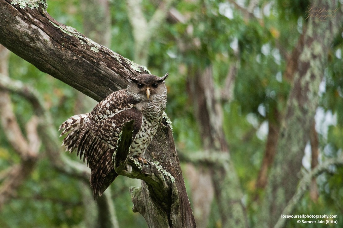 Spot-bellied Eagle Owl (Forest Eagle Owl)
