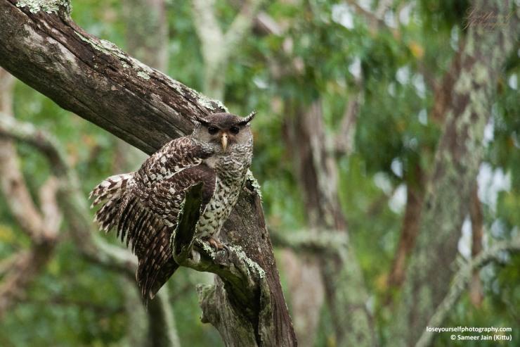Spot-bellied Eagle Owl (Forest Eagle Owl)