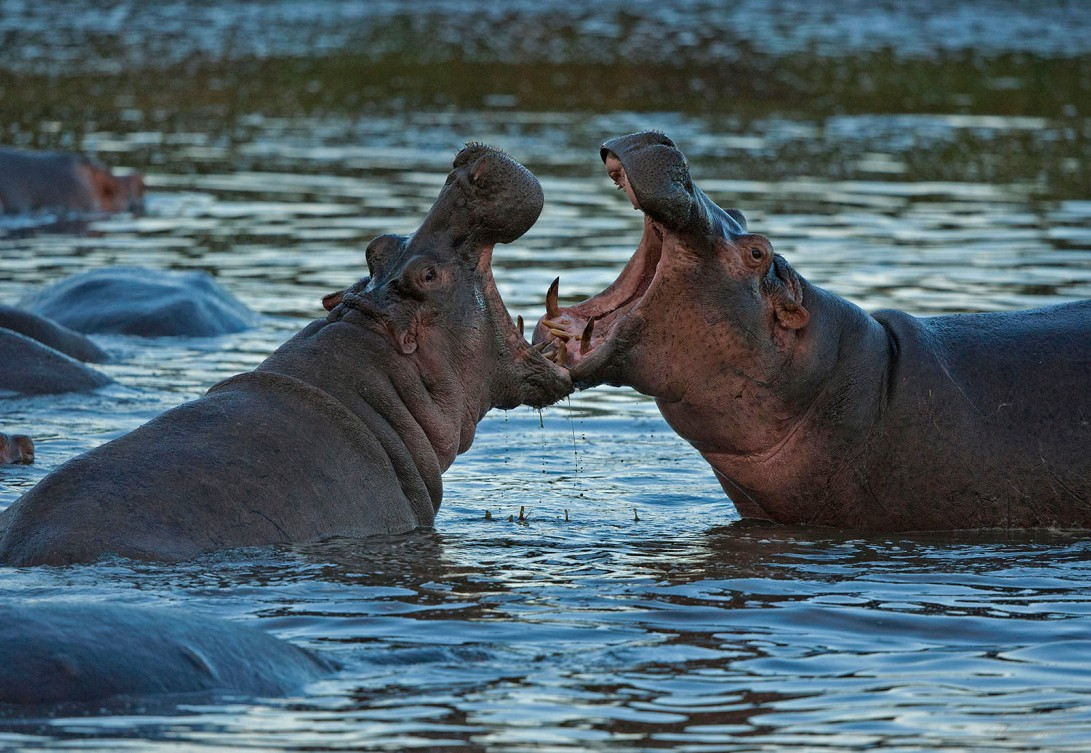 hippo_sparring