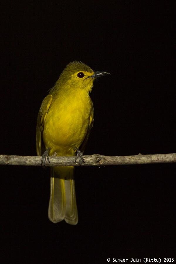yellow_browed_bulbul_fh