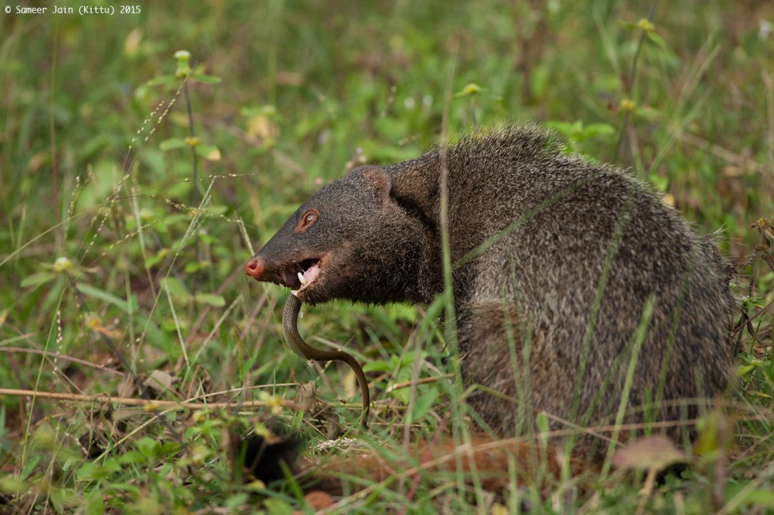 mongoose_kill_jk12043