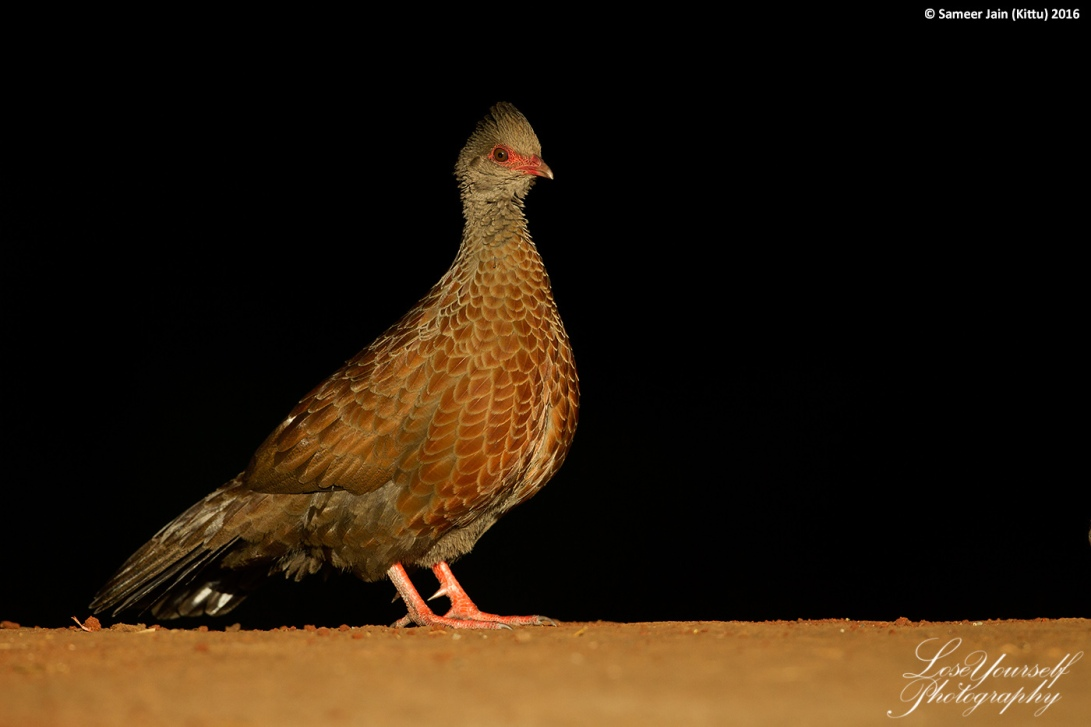 Spurfowl_Spolight_JK_0388