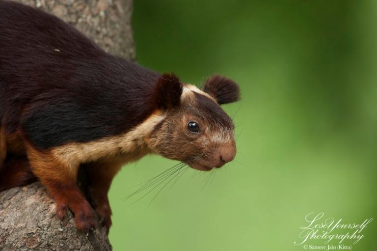 Squirrel_Malabar_FH_