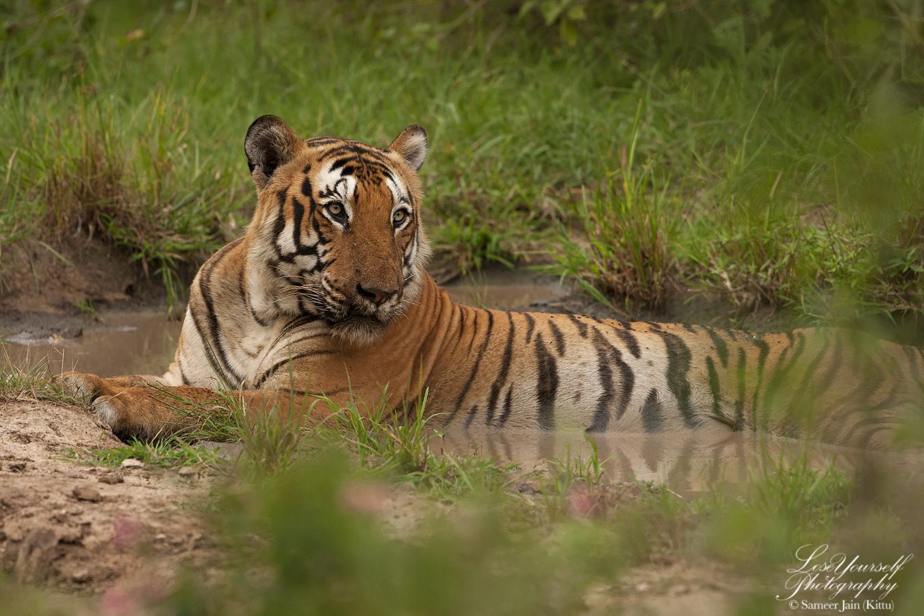 Tiger_Mulapura_BNP