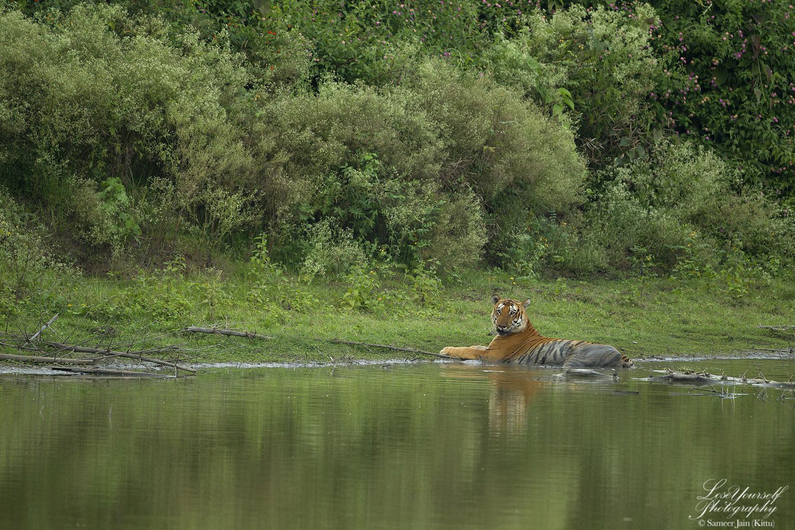 Tiger_Tavarkatte_JK_2527