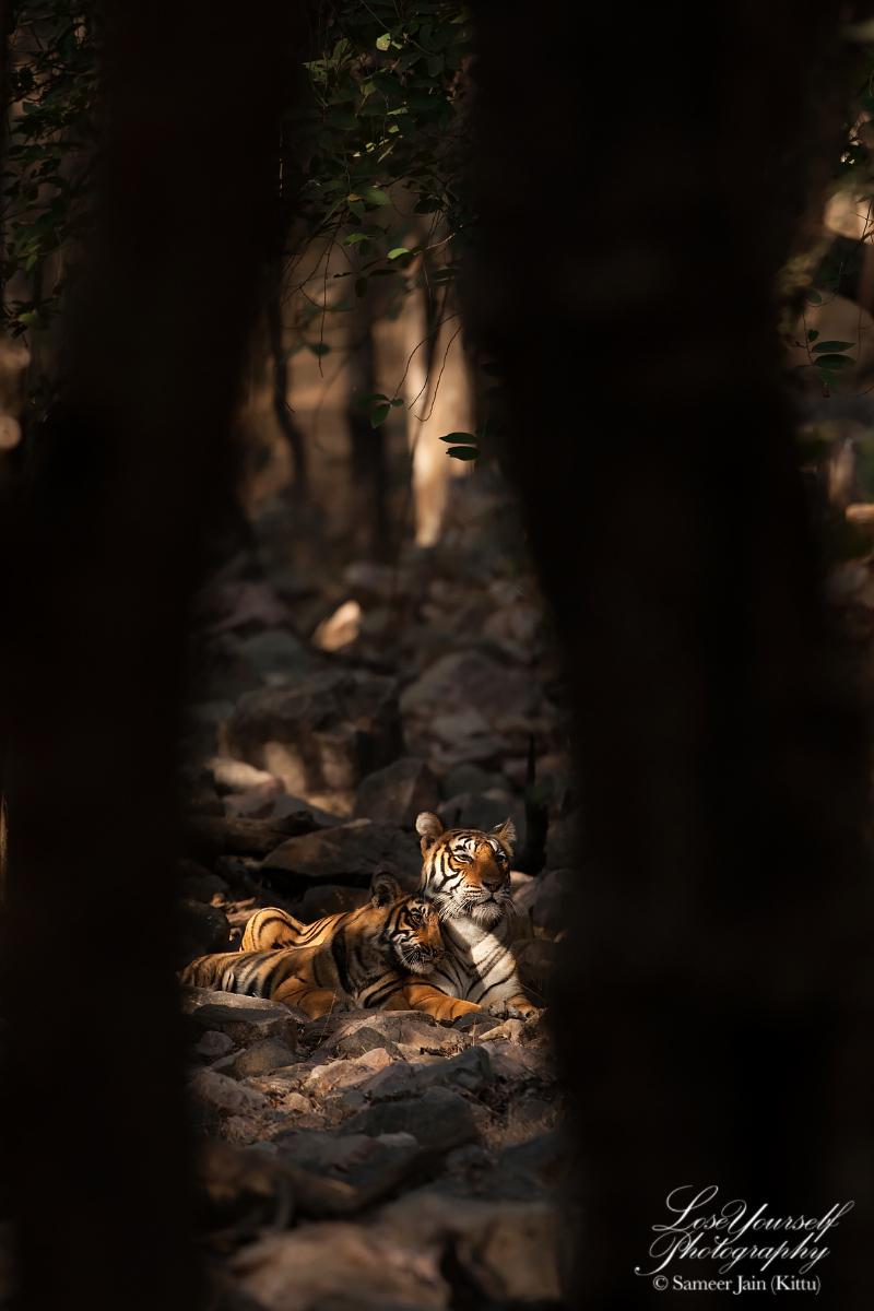 Tiger_Cub_Ranthambore