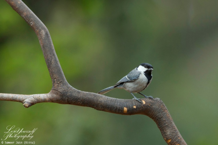 Great_Tit_JK_4459