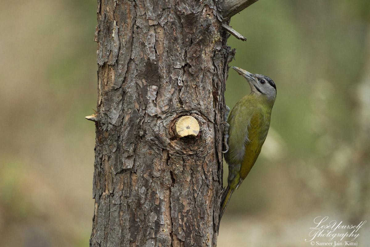 Grey_Headed_Woodpecker_JK_2278