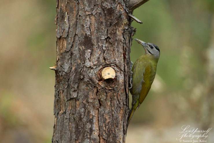 Grey_Headed_Woodpecker_JK_2278