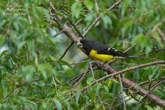 Spot-winged Grosbeak (m)