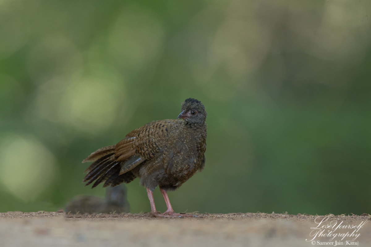 Spurfowl_Chick