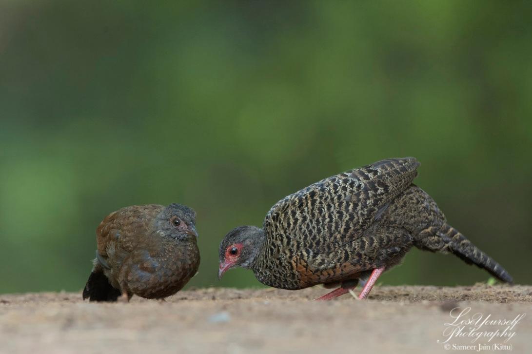 Spurfowl_Chick_Mum