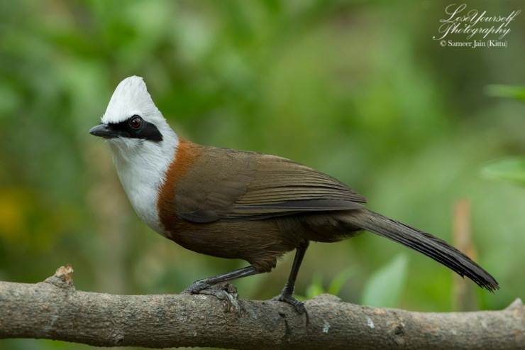 White_Crested_Laughing_Thrush_JK_4363