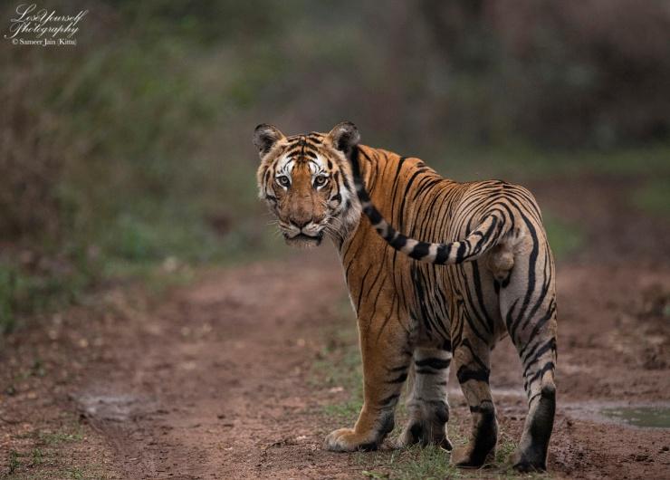 Tiger_Bandipur_600_ADI3284