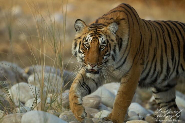 Tiger_Corbett_1