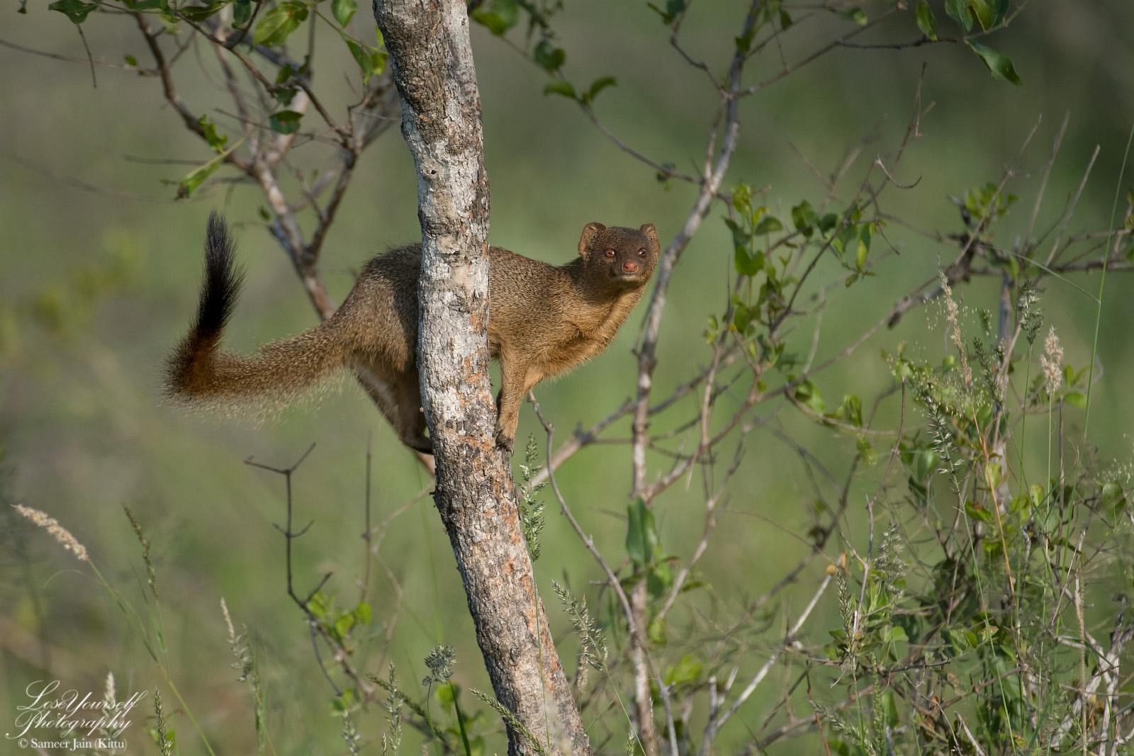 Mongoose_Crop_SJK7448