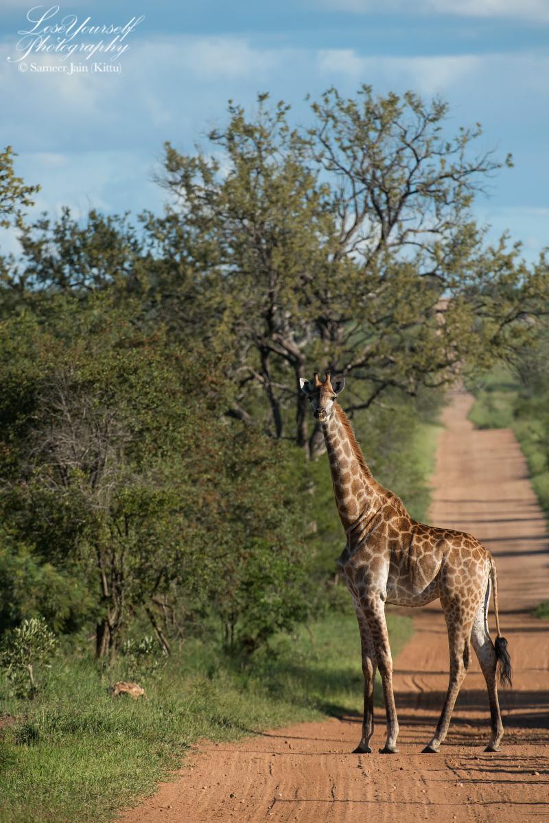 Giraffe_SJK8348