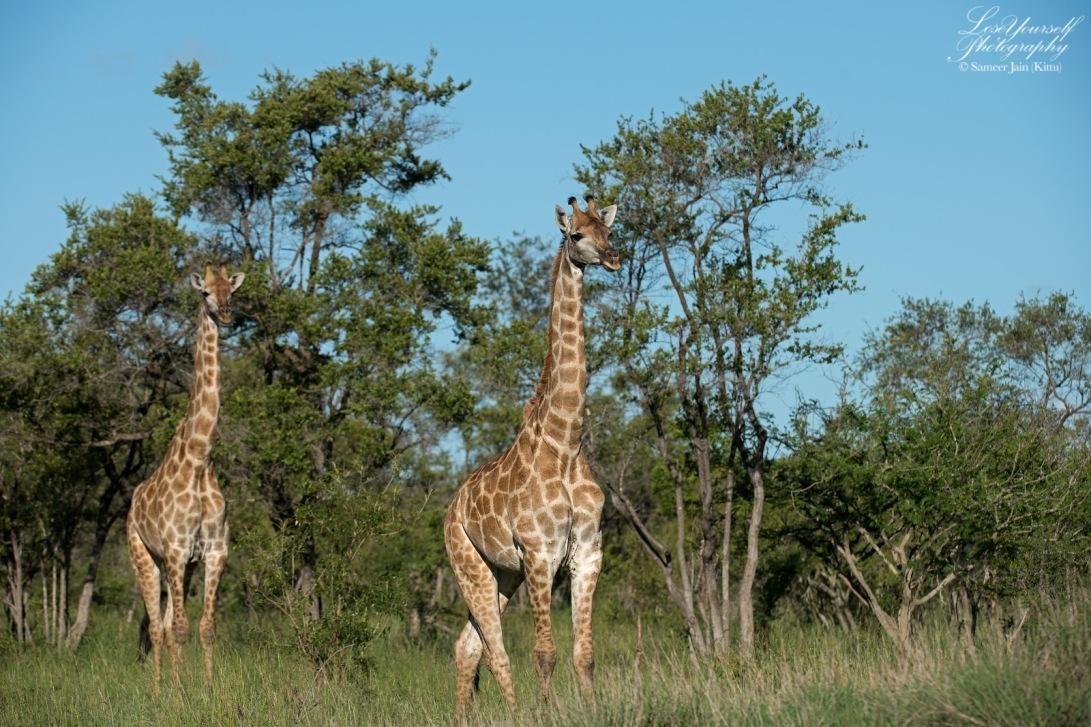 Giraffes_SJK8383