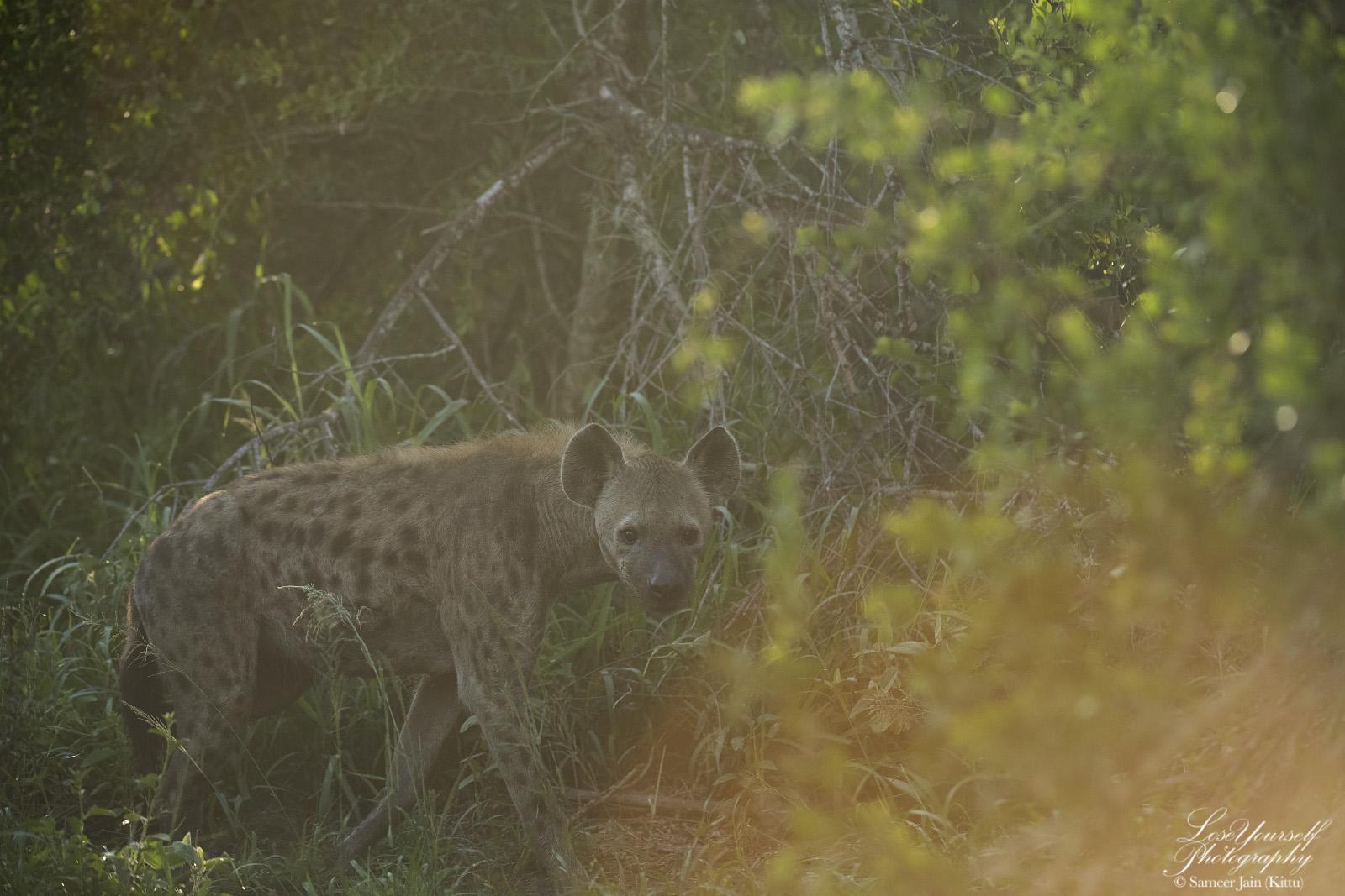 Hyena_SJK8181