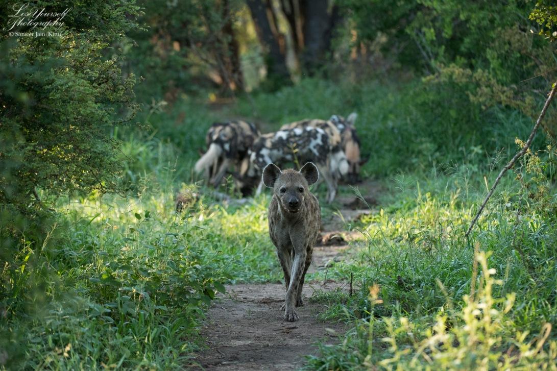 Hyena_Wild_Dog_SJK8177_BW