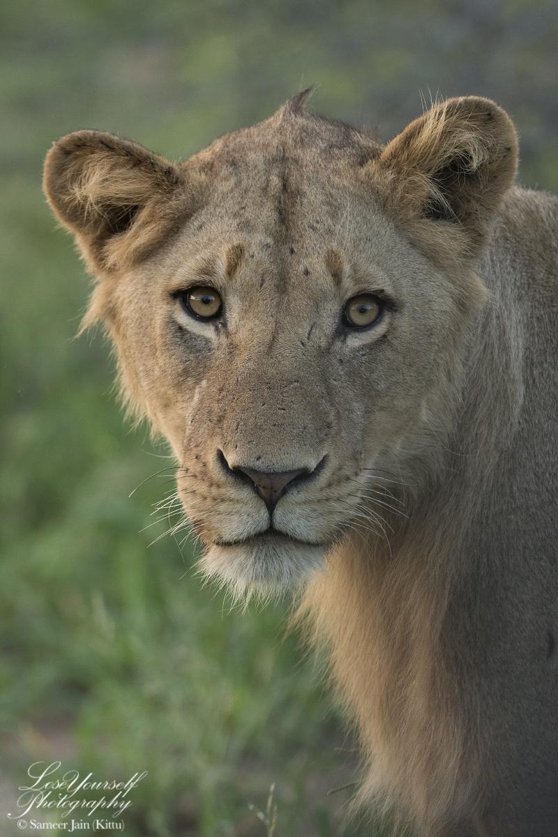 Lion_SJK8016_VC