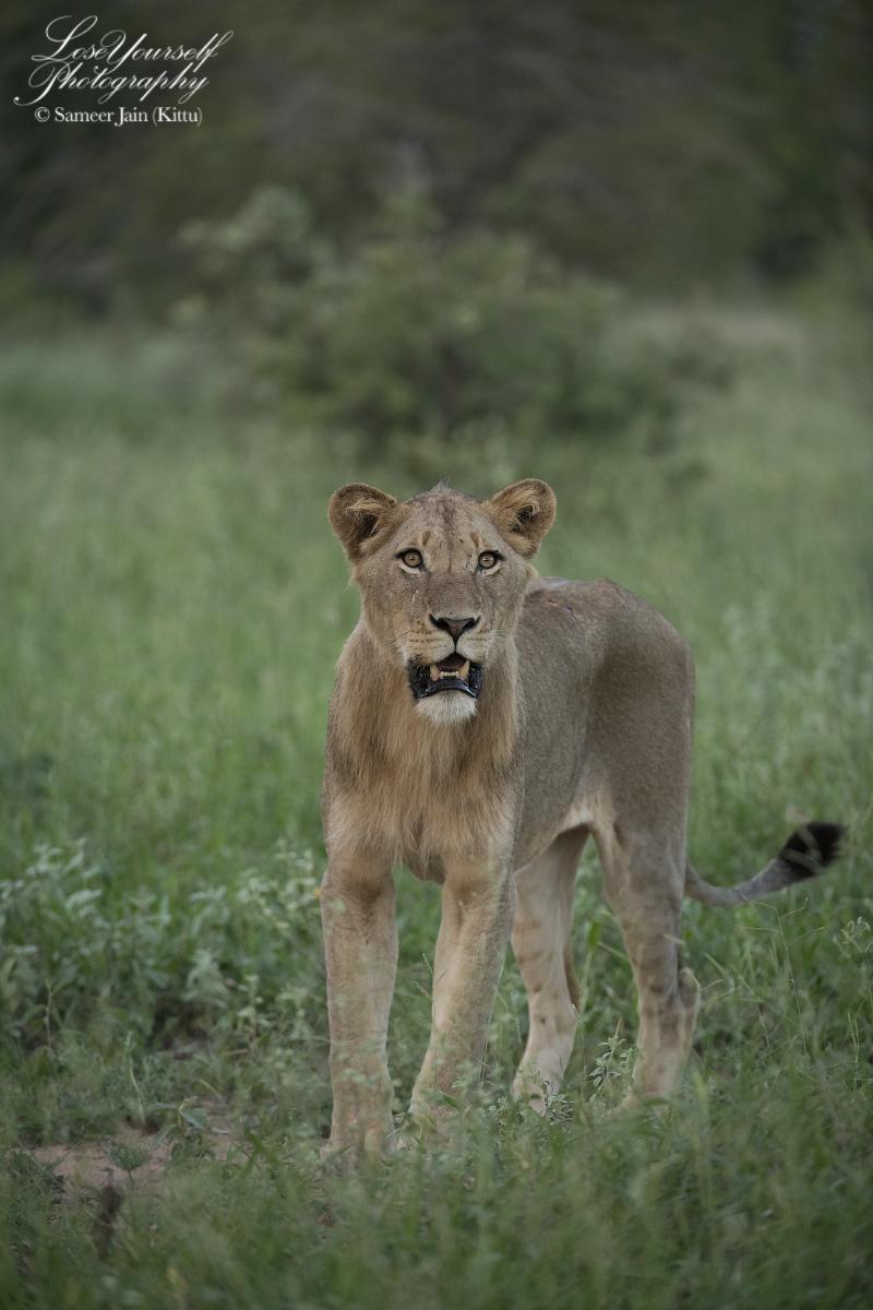 Lion_SJK8062_copy