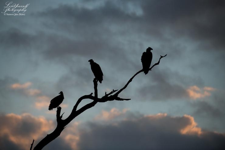 Vulture_Silhouette_SJK8499