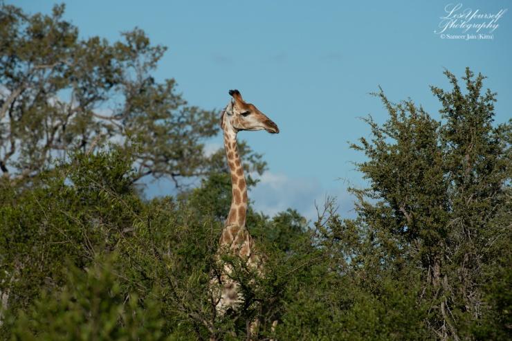 Giraffe_SJK8355
