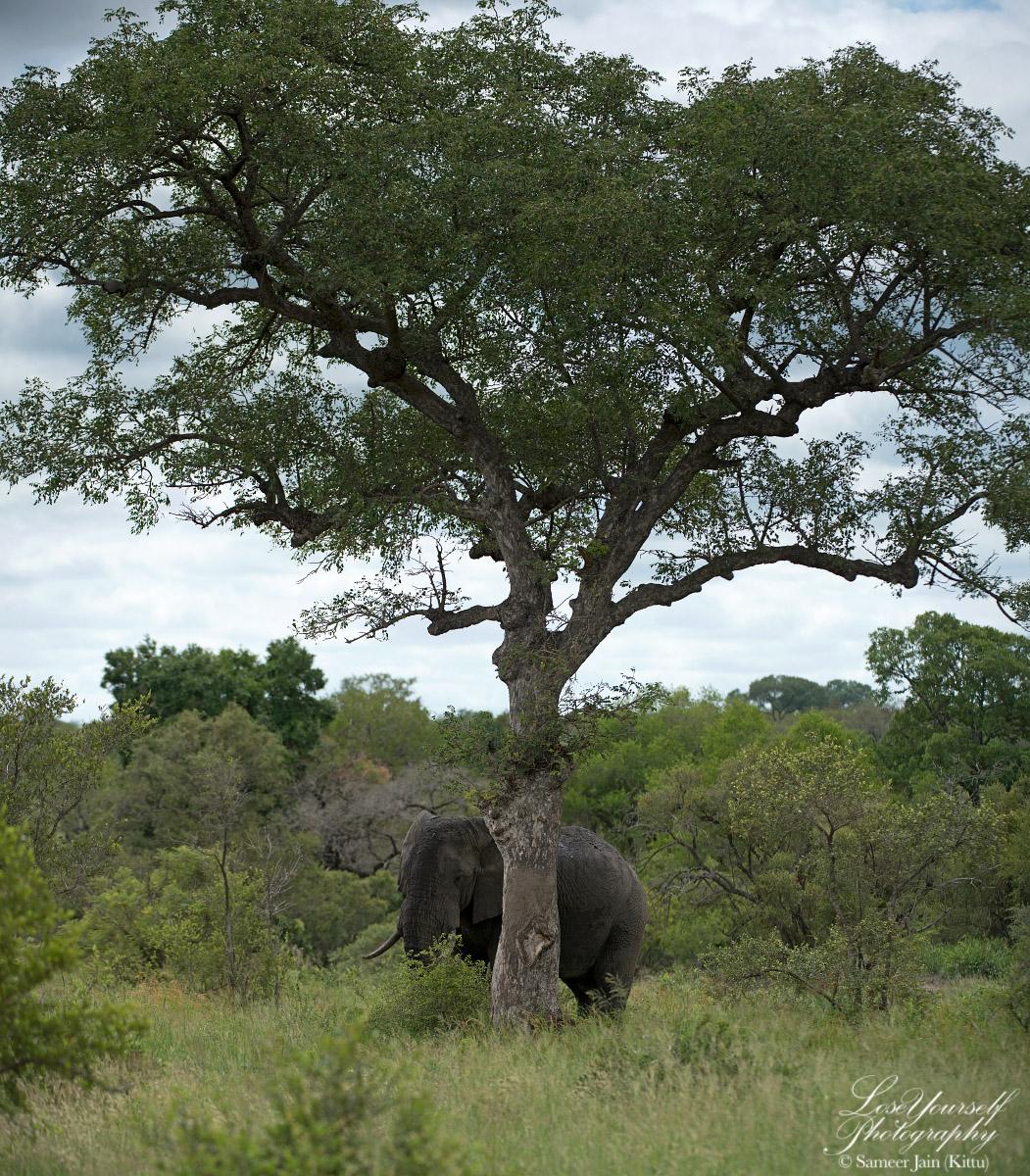 Marula_Elephant