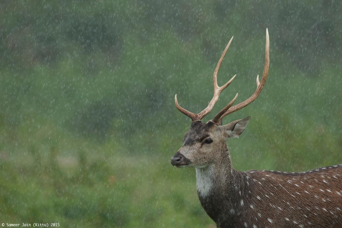 Rain_Deer_3_BNP